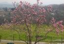 casa-aiva_magnolia-in-fiore2