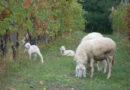 casa-aiva_pecore