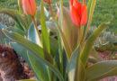 casa-aiva_tulipani