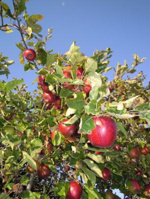 Casa-Aiva-mele-in-autunno